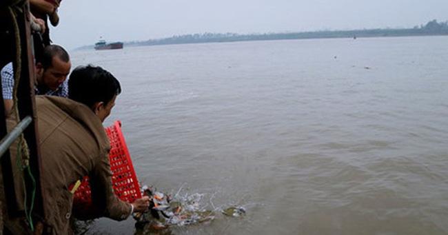 Hai Bộ xác định cá chim trắng phóng sinh ở sông Hồng được sản xuất, kinh doanh