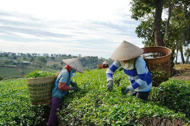 Một cá nhân đã bỏ ra hơn 37 tỷ đồng mua trọn lô 45% vốn Chè Lâm Đồng