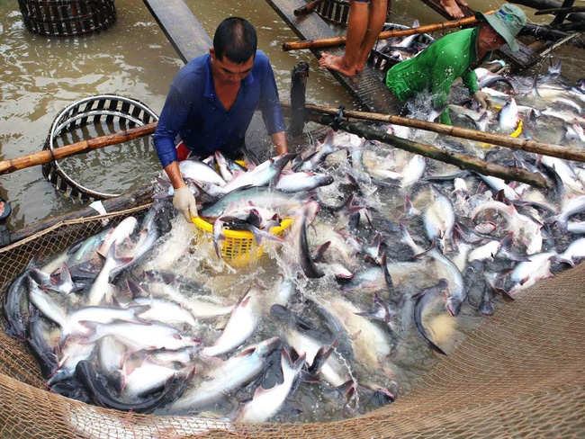 Trung Quốc trở thành thị trường nhập khẩu cá tra lớn nhất của Việt Nam