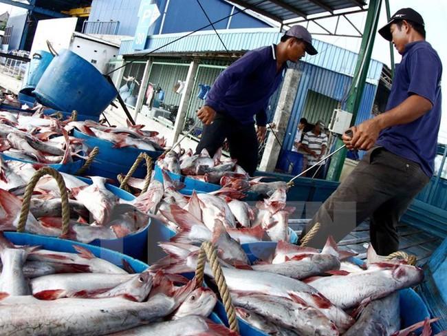 Doanh nghiệp thu mua cầm chừng, cá tra nguyên liệu giảm mạnh