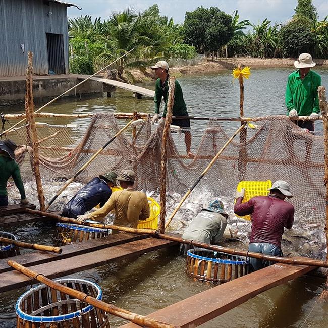 Giá cá tra tăng, người nuôi xót ruột không có hàng để bán