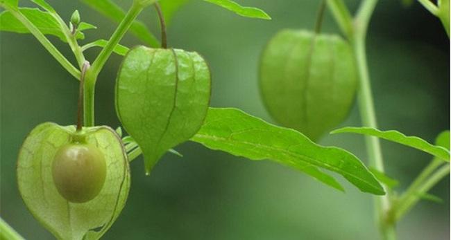Từ chuyện tầm bóp giá 700.000 đồng/kg ở Nhật, một cô gái Lâm Đồng quyết trồng cây dại này, hứa hẹn lợi nhuận hàng tỷ đồng/năm