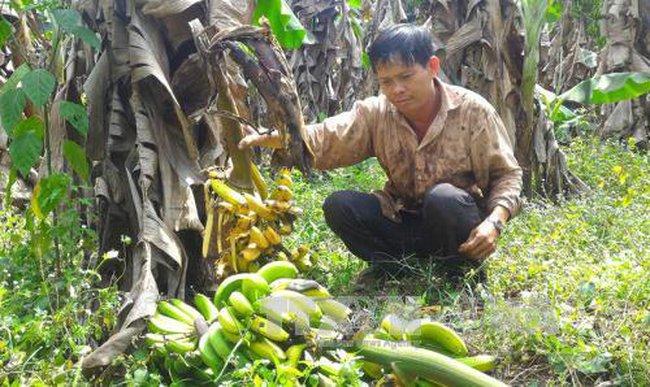 Giá chuối 'rớt' đáy, nông dân bỏ chín vườn hoặc cho gia súc ăn