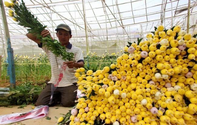Giá hoa cúc Đà Lạt tăng vọt