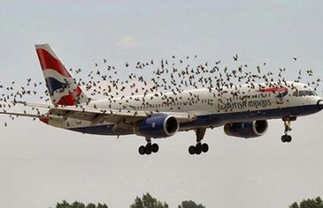 Dự án nghìn tỉ đuổi chim ở sân bay tái xuất lần 2