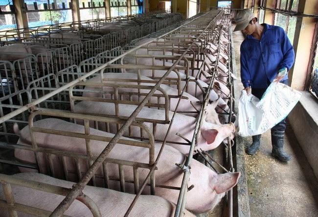"""""""Đại gia"""" chăn nuôi cũng gặp khó vì giá lợn sụt giảm"""