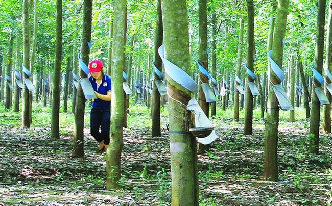 Cổ đông Cao su Quảng Nam bất ngờ đề nghị hủy niêm yết tự nguyện, chuyển sang giao dịch trên UpCOM