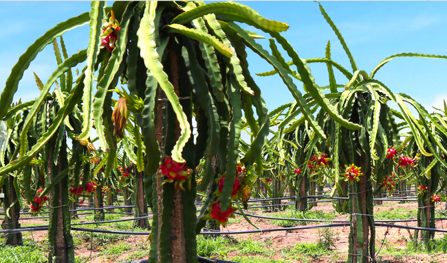 Sau chanh dây và chuối, 3.000 ha thanh long tiêu chuẩn GlobalGAP của Bầu Đức bắt đầu thu hoạch