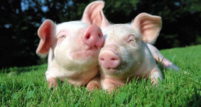 """Vừa nhập ồ ạt lợn giống """"xịn"""" từ Đan Mạch về thì giá thịt rớt thê thảm, Hoà Phát và Hùng Vương đang ngồi trên đống lửa?"""