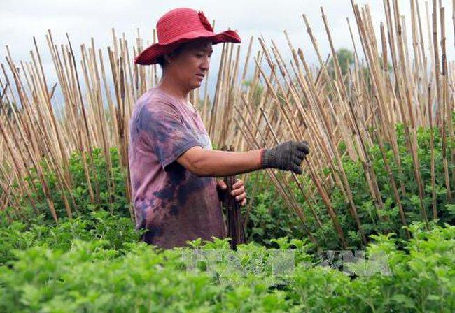 Hoa cúc Ninh Giang bán chạy dịp Tết Nguyên đán