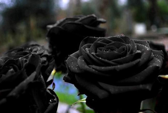 Xôn xao loài hoa hồng đen cực quý hiếm, chỉ trồng được ở duy nhất 1 ngôi làng
