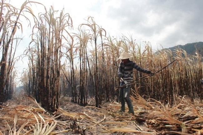 Khánh Hòa: Hàng trăm tấn mía nguyên liệu tiếp tục phơi nắng chờ thu mua