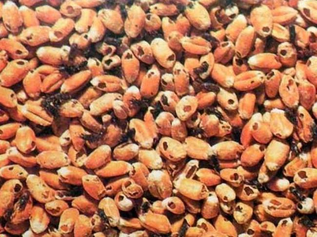 Ngừng nhập khẩu 4 loại nông sản từ Indonesia vì nguy cơ nhiễm mọt