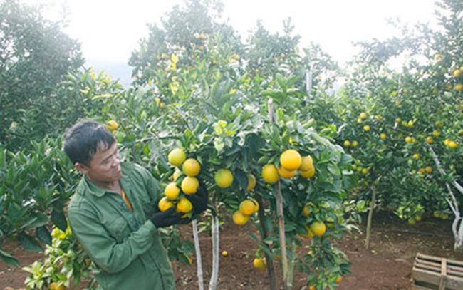 Thành tỷ phú nhờ trồng cam trên đất dốc