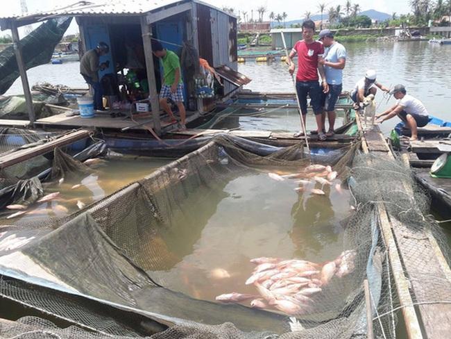 Đà Nẵng: Hơn 20 tấn cá nuôi chết hoàng loạt chưa rõ nguyên nhân