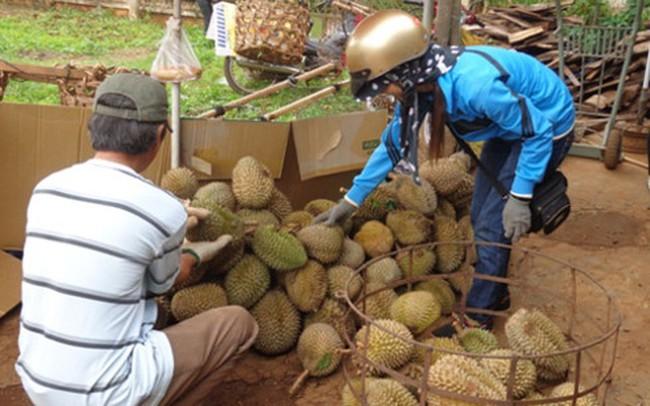 Sầu riêng Đắk Lắk được mùa, giá tăng kỷ lục