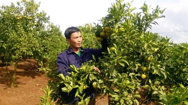 Cam quýt trái vụ trên vùng đất đỏ bazan, thu hàng tỷ đồng/năm