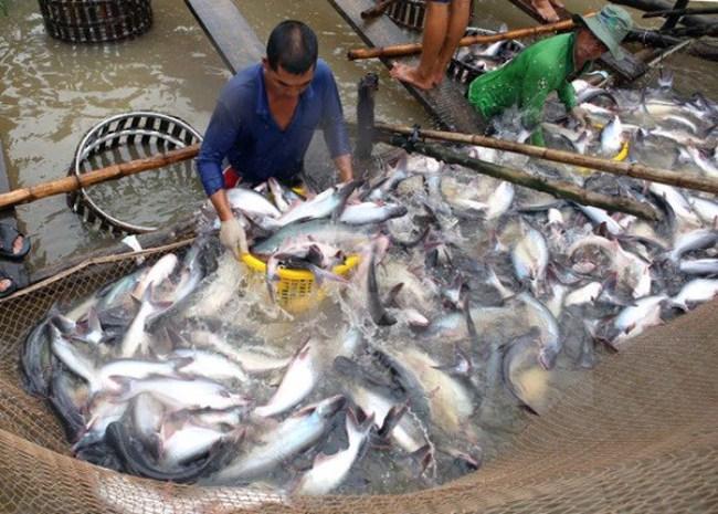 Cá tra tăng giá trong khi mặt hàng tôm tiếp tục giảm mạnh