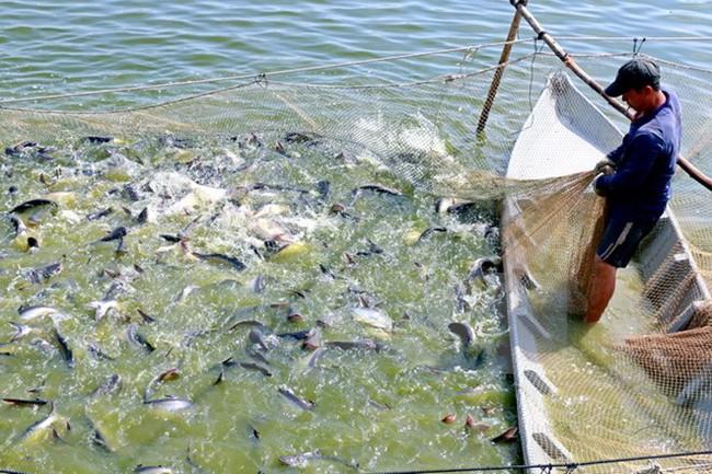 Giá cá tra nguyên liệu tại Đồng bằng sông Cửu Long ổn định ở mức cao