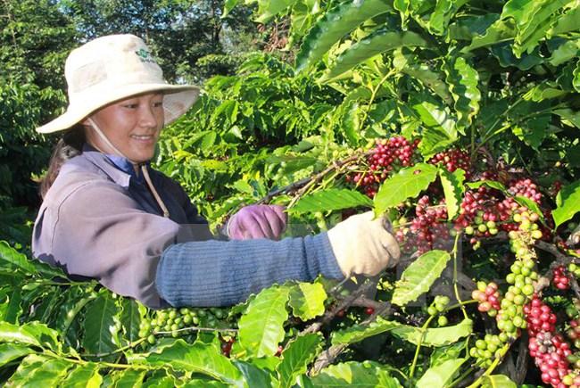 Nhiều lợi thế để đẩy mạnh xuất khẩu càphê trong quý 4