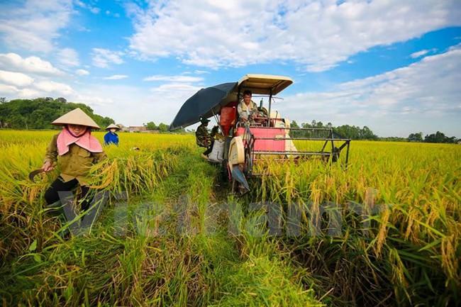 Sản lượng lúa Đông Xuân sớm ở Bến Tre tăng gấp 80 lần năm trước