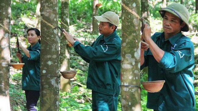 Thủ tướng yêu cầu báo cáo xử lý sai phạm tại Tập đoàn Cao su
