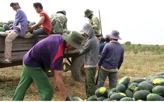 Người trồng dưa hấu ở Đắk Lắk phấn khởi vì được mùa, được giá