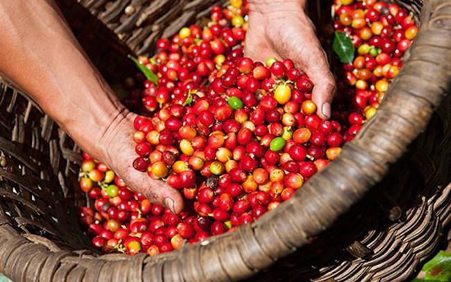 Giá cà phê vượt mốc 37 triệu đồng/tấn, nông dân Tây Nguyên phấn khởi chuẩn bị bước vào thu hoạch vụ mới