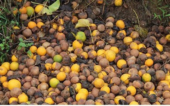 Nông dân xứ Nghệ rơi nước mắt nhìn cam rụng vàng gốc