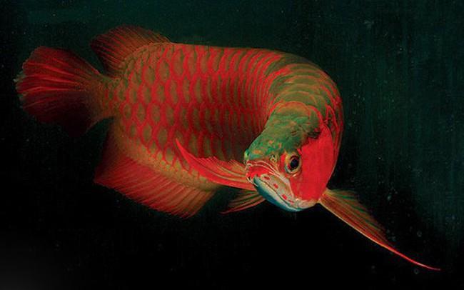 Có giá lên tới hàng nghìn USD, cá rồng đang trở thành thú chơi yêu thích của giới thượng lưu