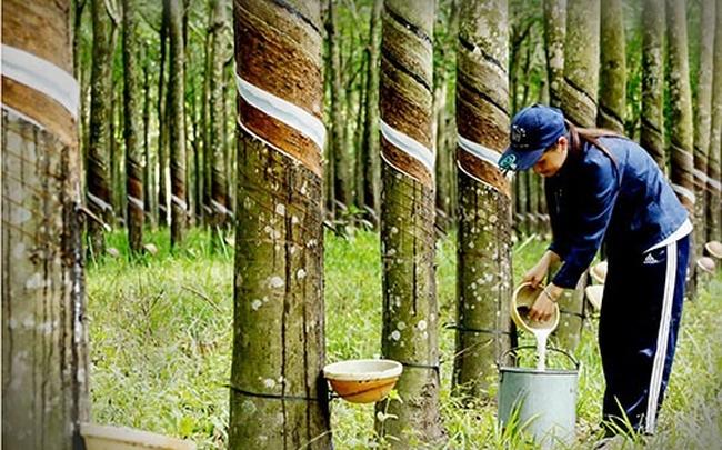 Vượt 21% kế hoạch lợi nhuận sau 9 tháng, Cao su Phước Hòa (PHR) tạm ứng cổ tức bằng tiền tỷ lệ 15%