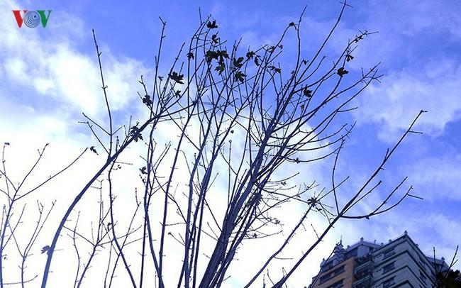 Hàng cây phong ở Hà Nội trơ cành, khô héo ngay đầu mùa đông