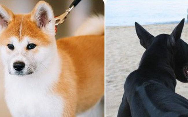 9 giống chó đắt tiền nhất thế giới, và Việt Nam có 1 trong số đó