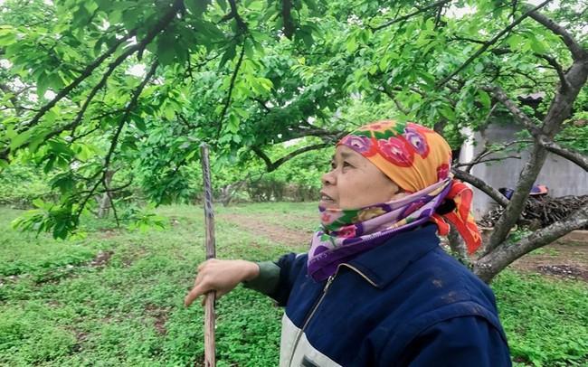 Nông dân Nà Ka thu nửa tỉ mỗi năm từ cây mận