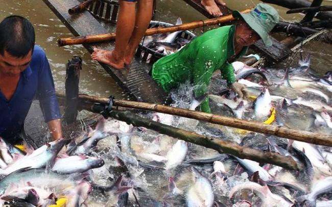 Giá cá tra nguyên liệu tăng cao nhưng thiếu nguồn cung