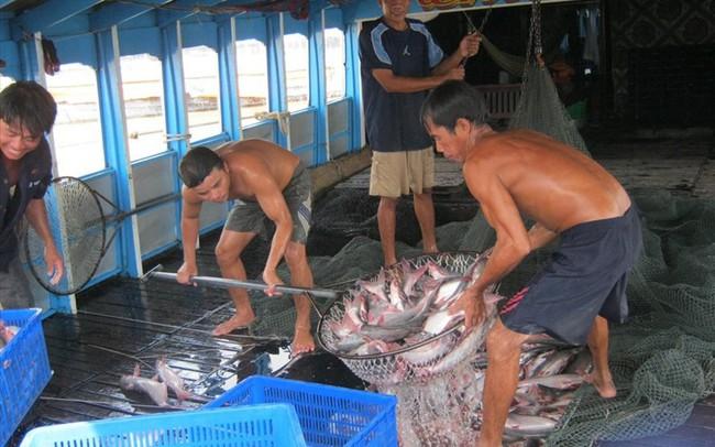 Giá cá tra chạm mức kỷ lục