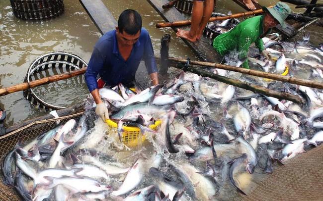 Xuất khẩu cá tra sang thị trường ASEAN tăng mạnh