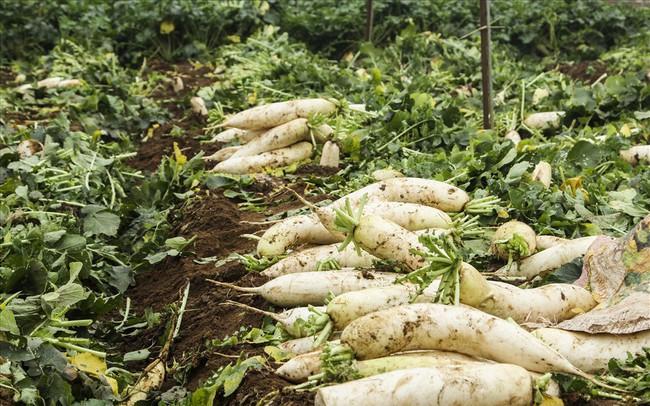 Cánh đồng ngập trắng củ cải bị vứt bỏ vì không ai mua