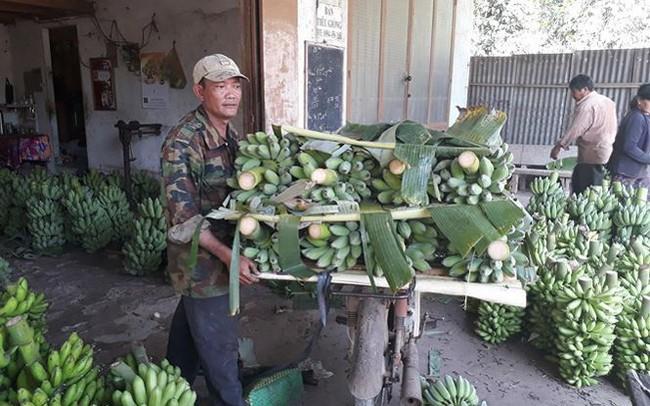 Nghịch lý 'giải cứu' cây chuối ở Đồng Nai: Đổ xô trồng mới