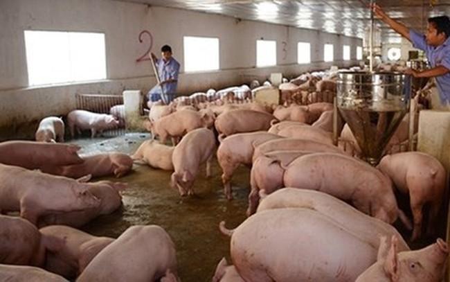Giá thịt lợn lại giảm mạnh, hộ chăn nuôi đồng loạt treo chuồng