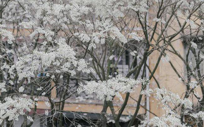 Chùm ảnh: Đây là Hà Nội, của những ngày trắng muốt hoa sưa...