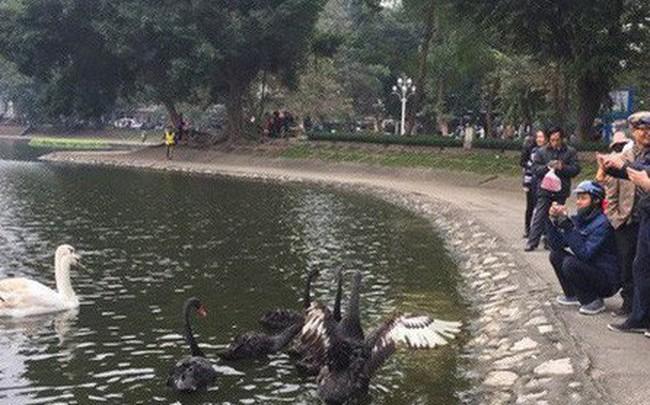Thiên nga hồ Thiền Quang bị thương do trúng lưỡi câu trộm, phải đưa đi chăm sóc