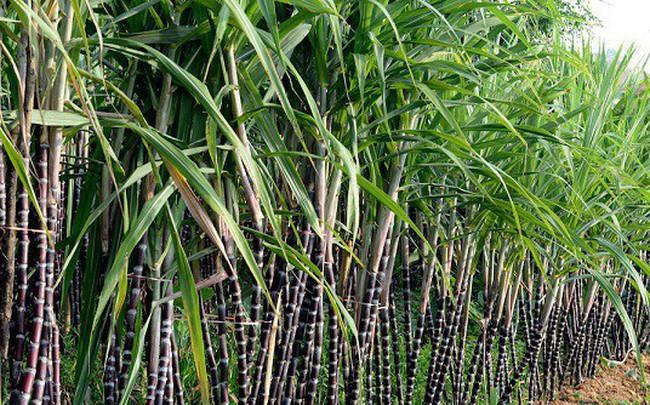 TTC Sugar (SBT) mở rộng thêm 16.000 ha đất canh tác tại Campuchia