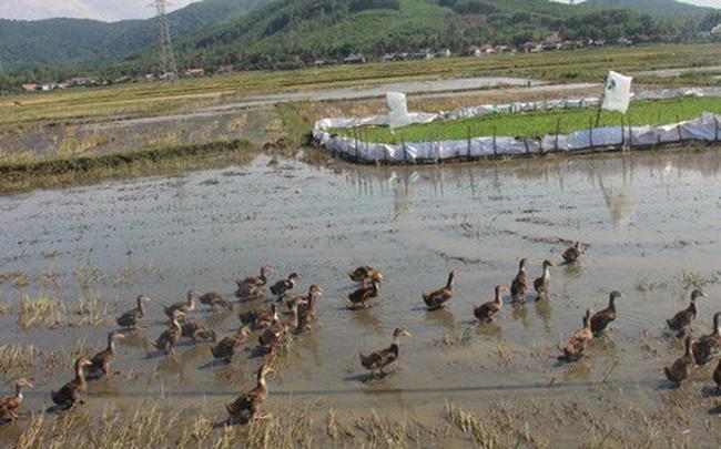 Nông dân ở Bình Định phải đóng tiền mới được thả vịt ra đồng