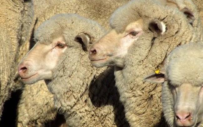 Australia bị sốc vì cái chết của 2.400 con cừu