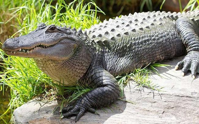 [Quy tắc đầu tư vàng] Cá sấu có thể dạy điều gì trong đầu tư chứng khoán?