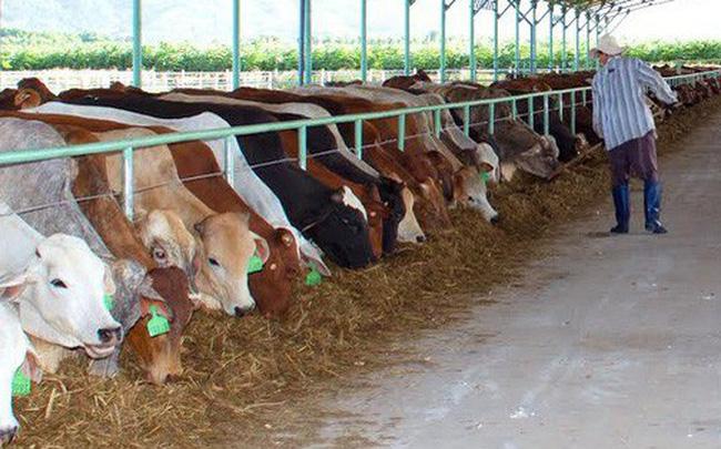 """[PHOTO STORY]: """"Số phận"""" đàn bò nghìn tỷ của bầu Đức"""