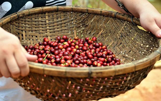 Giá cà phê trong nước tăng vọt ngày đầu tháng