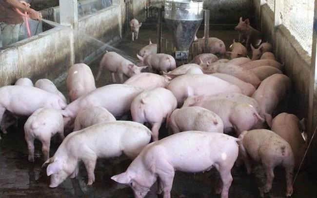 Nắng nóng cao điểm, giá lợn giảm