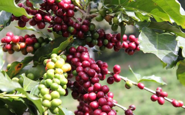 Giá cà phê sụt giảm khi ICO báo cáo xuất khẩu cà phê toàn cầu tăng